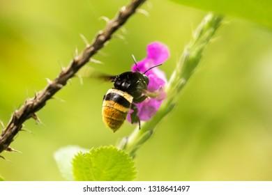 A bubble bee on a flower near Ujarras, Costa Rica