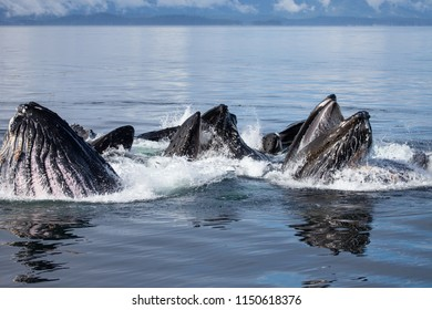 Bubble Net Feeding Close up Humpbacks Whales Alaska