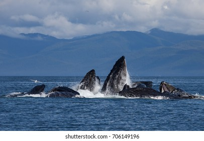 Bubble Net feeding humpback whales in Alaska. Cooperative hunting strategy shows the intelligence and complex society of this marine mammal