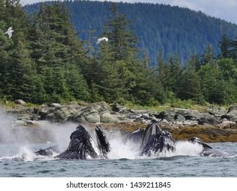 Bubble net feeding whales in Alaska