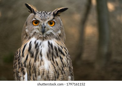 Bubo Bubo owl portrait in nature