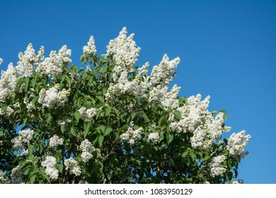 A buch of white lilac  in full bloom