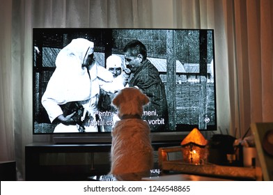 Bucharest, Romania - December 1st, 2018: A white dog sitting (siting) in front of a big TV and watching a black and white documentary at evening in the living room