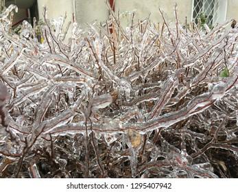Bucharest, Romania - January 26, 2019: Frost fruits in a bush due to a frozen rain outdoor. Close up. Rare natural phenomenon