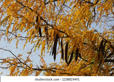Bucharest, Romania - October 17, 2018: Carob fruit pods and yellow leaves of a carob tree in a park in Bucharest.