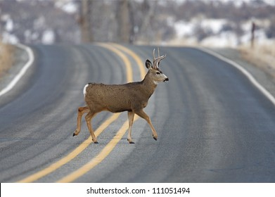 """Buck Deer walks across highway on a blind curve, an """"accident waiting to happen"""", Twisp, Washington; auto / car accident"""