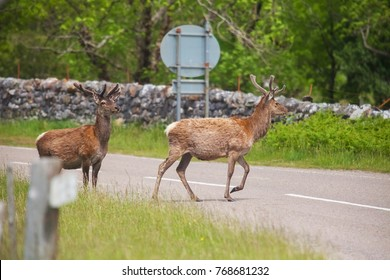 Buck Deer walks across highway on a blind curve, an ccident waiting to happen. Concept save a deer and car accident. Highland Wildlife Park in Scotland. UK