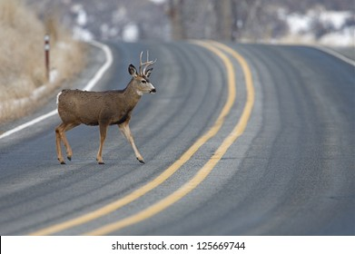 """Buck Deer walks across road on a blind curve, an """"accident waiting to happen"""", Twisp, Washington; auto / car insurance whitetail white tail whitetailed tailed mule stag"""