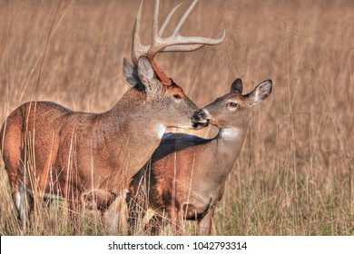 Buck with Doe in Cades Cove, Tennessee