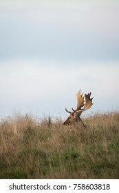 A buck Fallow Deer ( Dama dama, Cervidae) sitting in the grass during the rutting season.