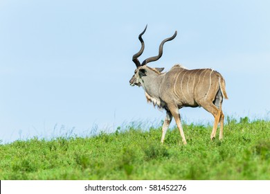 Buck Kudu Bull Wildlife Animal Summer Buck kudu bull animal head horns hot summers day in safari wildlife park.