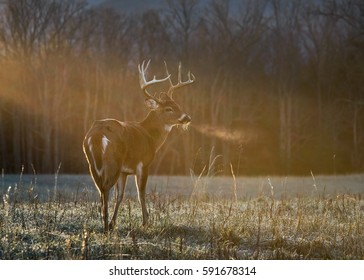 Buck in morning light