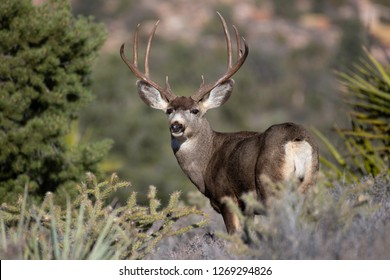 Buck Mule Deer in the desert outside of Las Vegas, Nevada.