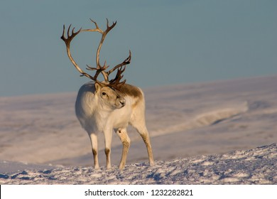 Buck Peary Caribou standing in snow.