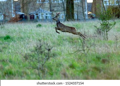 Buck Roe deer, Capreolus capreolus, running and leaping away from danger near the village of Painswick, The Cotswolds, Gloucestershire, UK