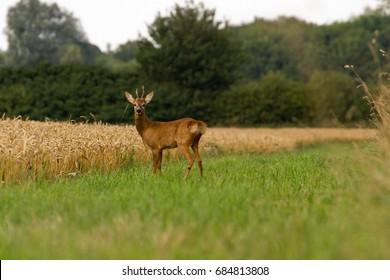 Buck Roe Deer Portrait on edge of field in Oxfordshire, UK