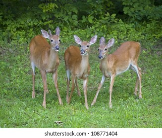 Buck and two does that are on a green field next to a forest