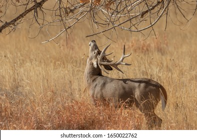 Buck Whitetail Deer in Colorado in Fall During the Rut