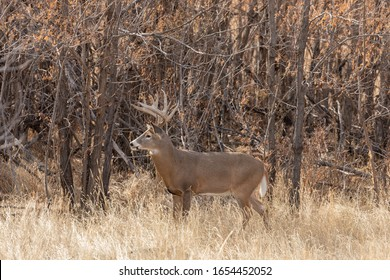 Buck Whitetail Deer in the Fall Rut in Colorado