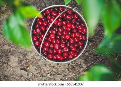 Bucket of cherries Outdoors