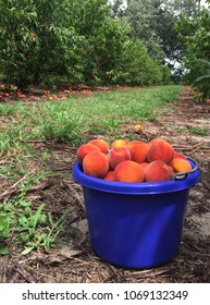 Bucket of Florida U-pick peaches.