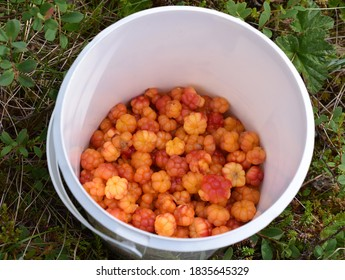 Bucket with freshly picked orange colored cloudberries Rubus chamaemorus in forest