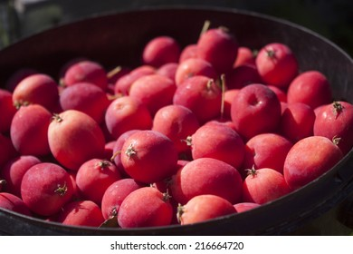 A bucket full of pink dolgo crabapples