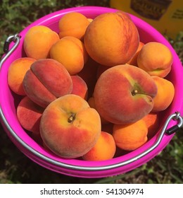 Bucket of handpicked u-pick peaches in Central Florida.