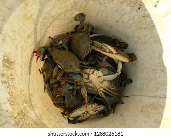 A bucket of just caught crabs
