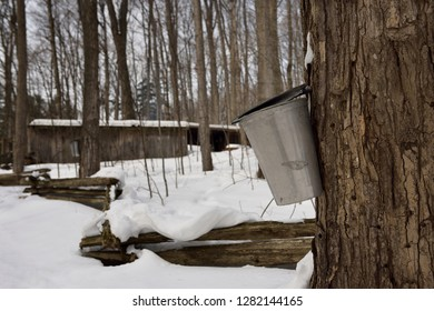 Bucket on Maple tree in Ontario sugar bush to collect sap for syrup with sugar shack Kortright Centre for Conservation,  Woodbridge, Ontario, Canada - March 1, 2015