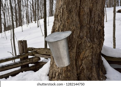 Bucket on old sugar Maple tree in Ontario forest to collect sap for syrup Kortright Centre for Conservation,  Woodbridge, Ontario, Canada - March 1, 2015
