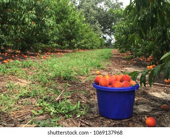 Bucket of peaches in a Florida peach orchard
