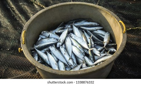 Bucket of small fish caught by Filipino fishermen - Tibiao, Antique - Philippines