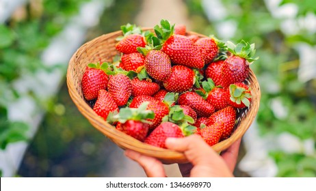 A bucket of strawberry, fresh pick from farm.