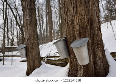 Buckets on old sugar Maple trees in Ontario forest to collect sap for syrup Kortright Centre for Conservation,  Woodbridge, Ontario, Canada - March 1, 2015