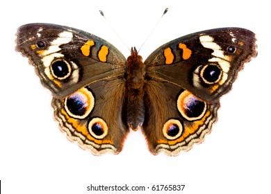 Buckeye Butterfly isolated on white