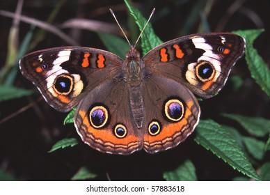 Buckeye Butterfly (Junonia coenia) -  Distillery Conservation Area, Illinois