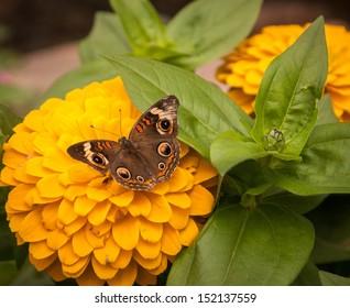 Buckeye butterfly or Junonia Coenia butterfly feeding on flower nectar
