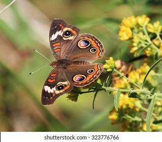 Buckeye Butterfly on a Goldenrod Flower