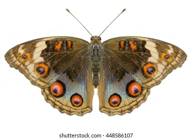 Buckeye Butterfly with open wings in top view as flying isolated on white background