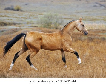 Buckskin Akhal Teke horse runs in canter through an autumn field. Horizontal, side view, in motion.