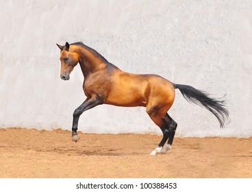 buckskin akhal-teke horse in motion