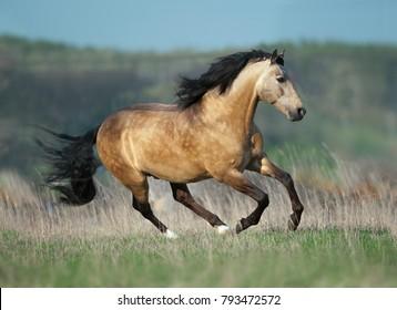 buckskin lusitano stallion runs free in spring field