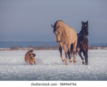 Buckskin stallion and bay horse play to game with red dog on snow in winter