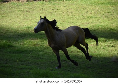 Buckskin stallion horse runs in shadow of pasture trees
