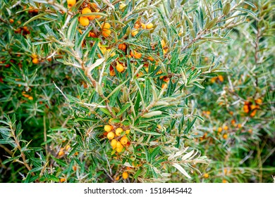 Buckthorn bush with healthy yellow cherry berries on a branch with green leaves neart the sea