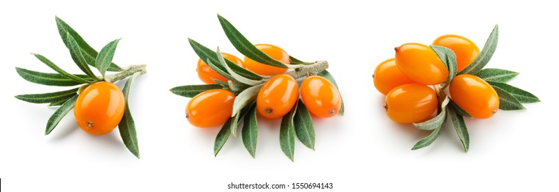 Buckthorn isolated. Sea-buckthorn on white background. Buckthorn branch with leaves.