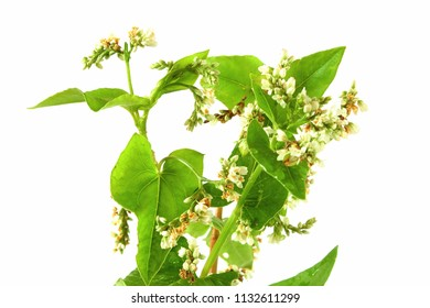 Buckwheat blossom in white background