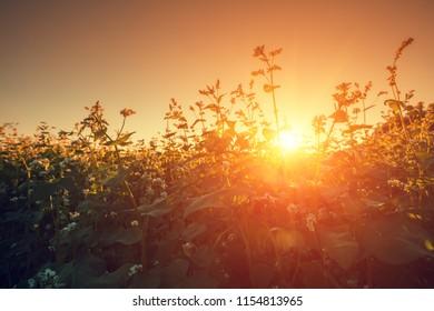 Buckwheat field against evening sky