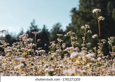 Buckwheat fields in Podlasie region